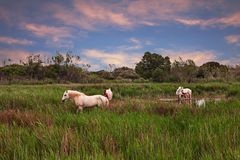 Camargue, France: white horses grazing in the wetlands. Camargue, France: landscape at sunset with wild white horses grazing in the wetlands of the nature park stock photography