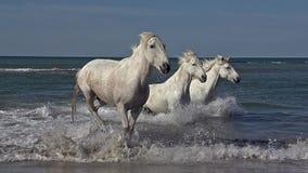 Camargue häst som galopperar i havet, Saintes Marie de la Mer i Camargue, i söderna av Frankrike