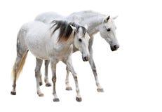 Camargue hästar Arkivbilder