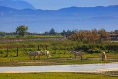 Camargue hästar Arkivbild