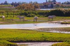 Camargue hästar Arkivfoton
