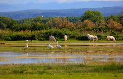 Camargue hästar Fotografering för Bildbyråer