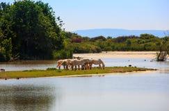 Camargue hästar Royaltyfria Bilder
