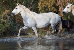 Camargue hästar i reserven royaltyfri bild