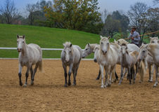 Camargue-Herde Stockfotografie