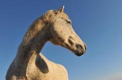 Camargue horse Stock Photos