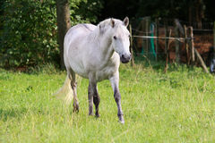 Camargue horse Royalty Free Stock Photography
