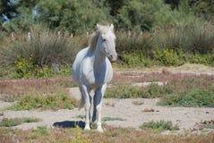 Camargue horse Royalty Free Stock Photo