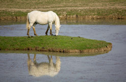 Camargue Horse Stock Photos