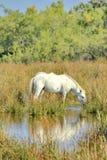 Camargue horse Stock Photography