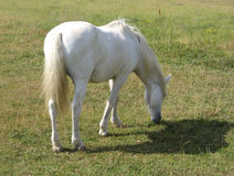 Camargue horse Royalty Free Stock Images