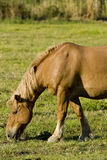 Camargue horse Stock Images