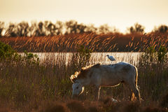 Camargue horse with cattle egret. Camargue horse in backlight with cattle egret on its back Stock Photography