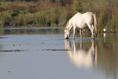Camargue horse drinking in a pond Royalty Free Stock Photography