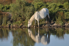 Camargue horse drinking at a pond Stock Image