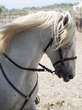 Camargue horse in a farm in Saintes-Maries-de-la-Mer stock image