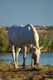 Camargue horse, France Stock Photo