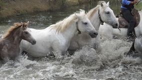 Camargue Horse, Herd crossing a river, Saintes Marie de la Mer in Camargue, Rider, in the South of France. Slow Motion stock video
