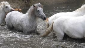 Camargue Horse, Herd crossing a river, Saintes Marie de la Mer in Camargue, in the South of France,. Slow Motion stock video