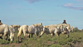 Camargue Horse, Herd with mounted Gardian, Saintes Marie de la Mer in The South of France,. Real Time stock footage