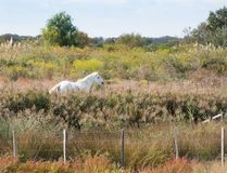 Camargue Horse in a Lush Field. A white Camargue horse standing in a lush field surrounded by vegetation. Trees and pale blue sky are in the background and a Stock Photo