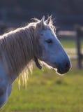 Camargue horse portrait backlight Stock Photos