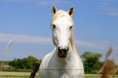 Camargue horse. Royalty Free Stock Images