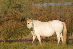 Camargue horse standing in a pond Royalty Free Stock Image