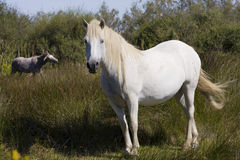 Camargue horses. Horses in the Camargue National Park stock photo