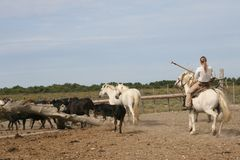 Camargue Horses & Bulls. Female gardian managing a bull herd, Camargue, France royalty free stock photo