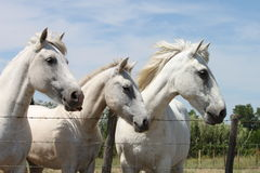 Camargue Horses France. This horses are waiting for Le Petit Train  coming from the Mediterranean town named   Les Saintes-Maries-de-la-Mer. The train brings to Stock Photography