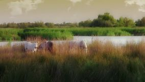 Camargue horses stock video