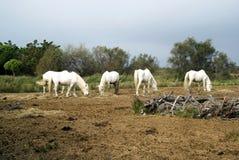 Camargue horses grazing Stock Image