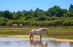 Camargue horses Stock Photography