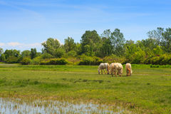 Camargue horses Royalty Free Stock Photos