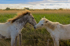 Camargue Horses Kiss Stock Images