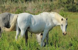Camargue horses in a meadow, France Royalty Free Stock Image