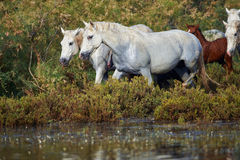 Camargue horses in the reserve Stock Photography