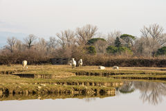 Camargue horses in scenic wetland landsape of nature reserve of river mouth Isonzo Royalty Free Stock Photography