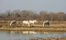 Camargue horses in scenic wetland landsape of nature reserve of river mouth Isonzo. Beautiful white Camargue horses in scenic wetland landsape of nature reserve Royalty Free Stock Photography