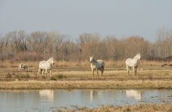 Camargue horses in scenic wetland landsape of nature reserve of river mouth Isonzo. Beautiful white Camargue horses in scenic wetland landsape of nature reserve Stock Photo