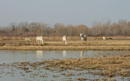 Camargue horses in scenic wetland landsape of nature reserve of river mouth Isonzo. Beautiful white Camargue horses in scenic wetland landsape of nature reserve Stock Images