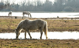 Camargue horses in scenic wetland landsape of nature reserve of river mouth Isonzo. Beautiful white Camargue horses in scenic wetland landsape of nature reserve Royalty Free Stock Images
