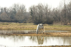 Camargue horses in scenic wetland landsape of nature reserve of river mouth Isonzo. Beautiful white Camargue horses in scenic wetland landsape of nature reserve Royalty Free Stock Photo