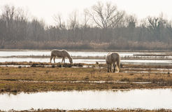 Camargue horses in scenic wetland landsape of nature reserve of river mouth Isonzo. Beautiful white Camargue horses in scenic wetland landsape of nature reserve Royalty Free Stock Image