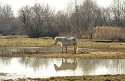 Camargue horses in scenic wetland landsape of nature reserve of river mouth Isonzo. Beautiful white Camargue horses in scenic wetland landsape of nature reserve Stock Photography