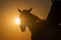 Camargue horses at sunset. France. Silhouette of a horse at sunset Stock Photo