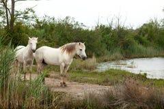 Camargue horses Royalty Free Stock Image