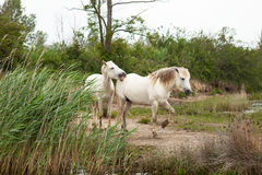 Camargue horses Royalty Free Stock Photo