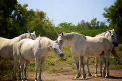 Camargue horses Stock Images